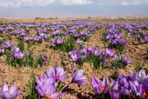 عصاره زعفران سحرخیزان