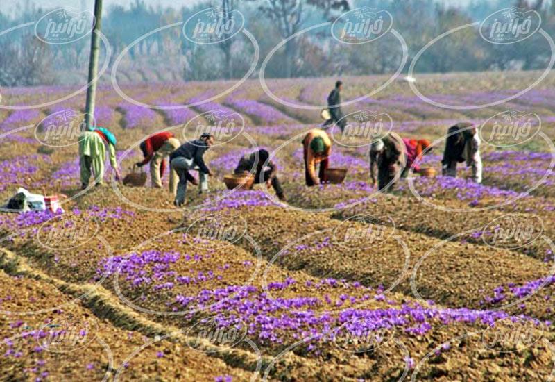 قیمت زعفران خراسان جنوبی ارگانیک برای صادرات
