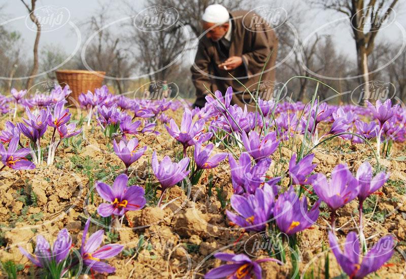 اصلی ترین مرکز پخش زعفران در مشهد برای بازاریابان