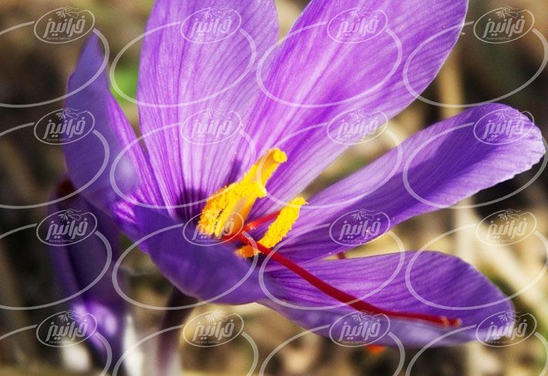 قیمت زعفران سحرخیز با بسته بندی های مختلف