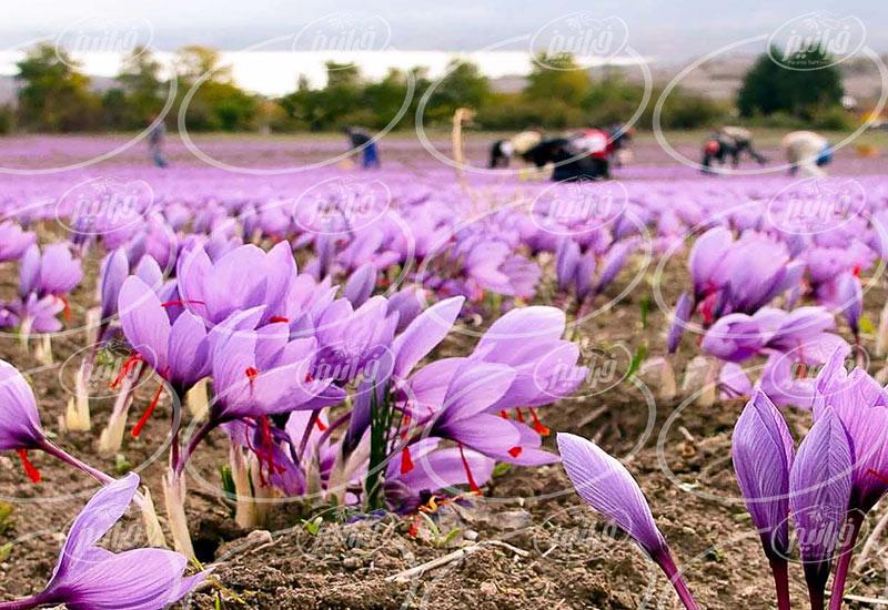 میزان سود حاصل از صادرات زعفران به عراق