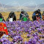 اطلاع از جدیدترین قیمت پودر زعفران نوین