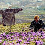 فروش زعفران در وان ترکیه با قیمت های استثنایی