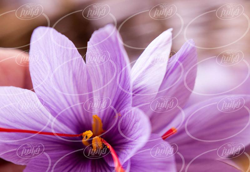 صادرات زعفران به باکو در سریع ترین زمان