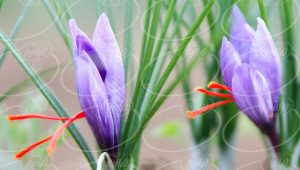 سایت ارائه دهنده قطره گیاهی زعفران